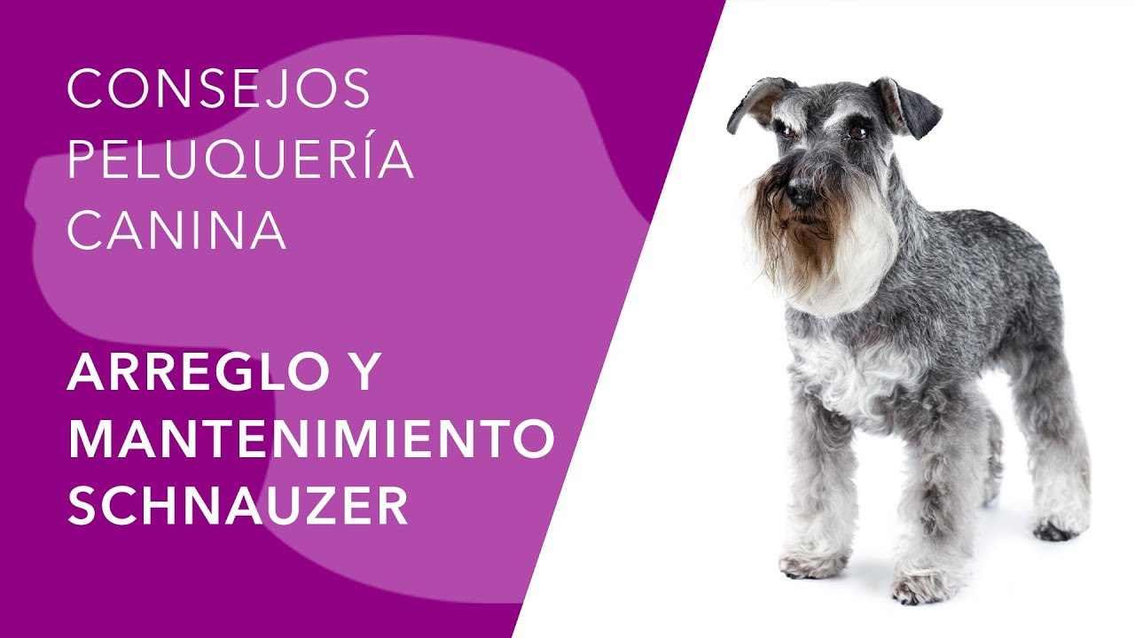 Cortes de pelo de schnauzer mini