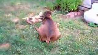 Lady The Boxer Plays With Baby Loki The Shar Pei / Lab Mix
