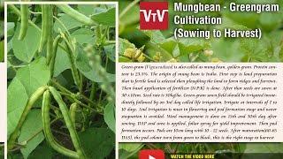 Mungbean- Greengram cultivation