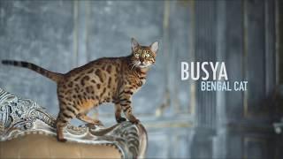 Bengal Cat Busya