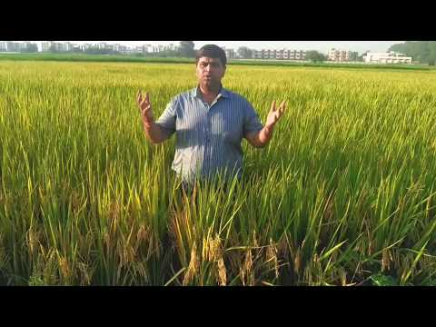 Top Agriculture Seed Company in India | SIGNET SEEDS | Signet Hybrid Rice