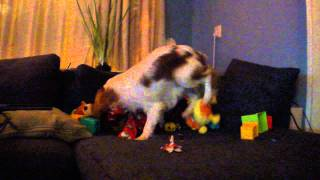 Puck Unwraps A Gift (cavalier King Charles Spaniel)