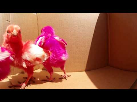 colourful chickens 360 degree view