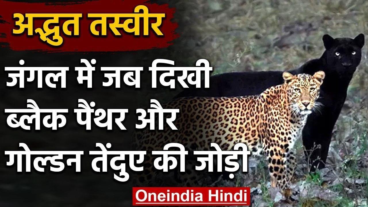 Black Panther और Golden Leopard की जंगल में दिखी जोड़ी, लोग हुए हैरान, जानें क्यों?   वनइंडिया हिंदी