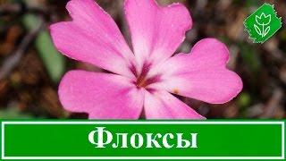 Цветы флоксы – посадка и уход; флоксы зимой