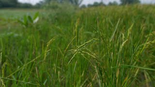 Still shot of yellow-green rice field in village during daytime in India - organic farming