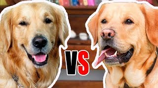 Golden Retriever vs Labrador  Comparison between the breeds