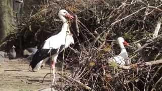 Storke bygger rede