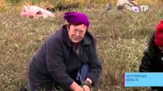 Промышленное выращивание клюквы в Костроме(В Костромской области собирают рекордный урожай клюквы до 15 тонн с гектара Репортаж с телеканала ОТР., 2015-03-07T21:17:26.000Z)