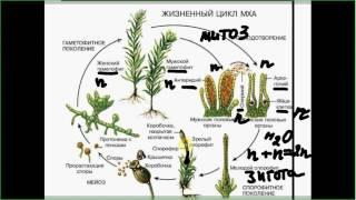 Разбор сложных задач ЕГЭ по биологии части С. Жизненный цикл мхов, митоз, мейоз.