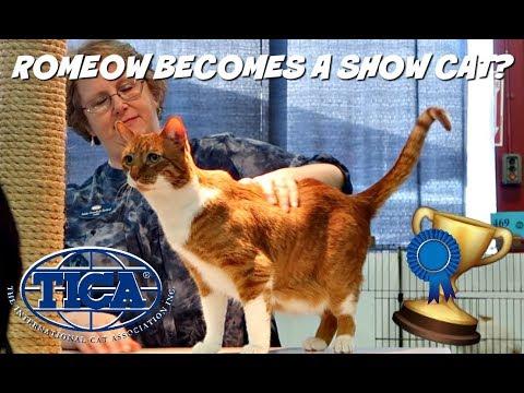 ENTERING A CAT SHOW WITH MY SENIOR RESCUE CAT?! | TICA Cat Show | Columbus, Ohio