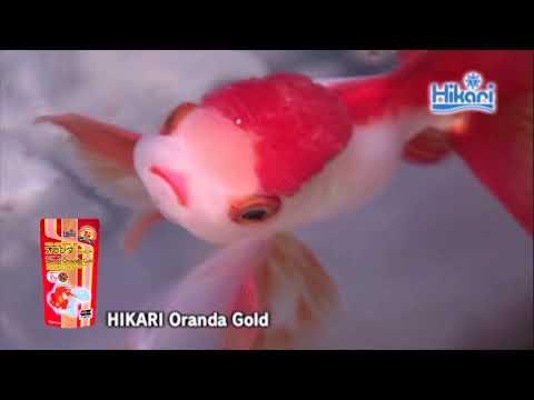 Oranda Gold 【KYORIN,HIKARI,Goldfish Diets】