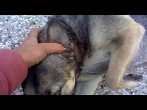 Fox Dog Hybrid