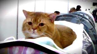 🐱 Очень Няшный Золотой БРИТАНЕЦ 👍 Роскошный Кот Британской Породы | ПОРОДЫ КОШЕК