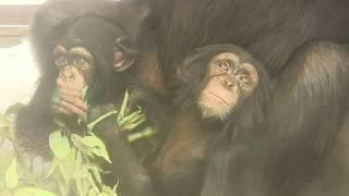 Download Video チンパンジー 双子の赤ちゃん118  Chimpanzee twin baby MP3 3GP MP4