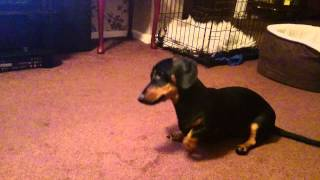 Miniature Dachshund training!