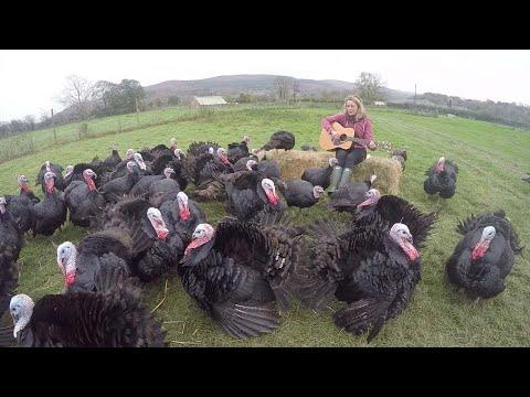 Farmer Keeps Turkeys Calm With Music