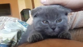 Шотландский котенок Играет кусает за ноги за руки