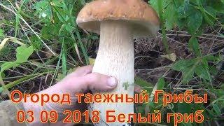 Огород таежный Грибы и лекарственные травы 03 09 2018 Белый гриб рыжики маслята лисички Сбор грибов