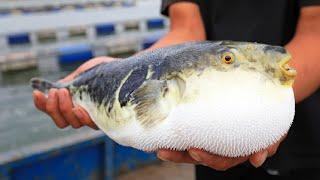 Японская ферма по выращиванию фугу - Удивительное рыбоводство FUGU в Японии