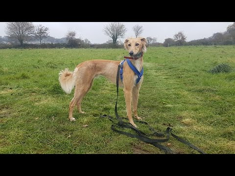 Archie the Saluki x Greyhound - 4 Weeks Residential Dog Training