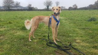 Archie the Saluki x Greyhound  4 Weeks Residential Dog Training