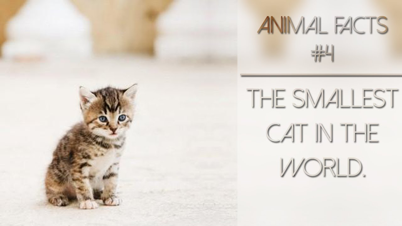 animal facts 4 the smallest cat in the world
