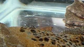 Pipa pipa - Surinam Toad Babies Emerging