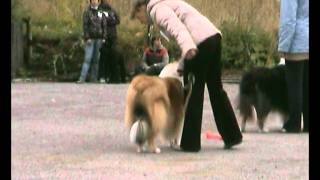 Выставка собак. Колли. 2011 г.