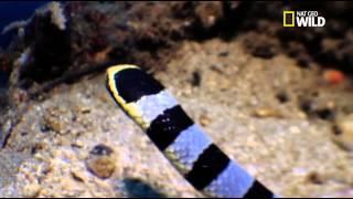 Vidéo rare ! Le serpent tricot rayé attaque une murène