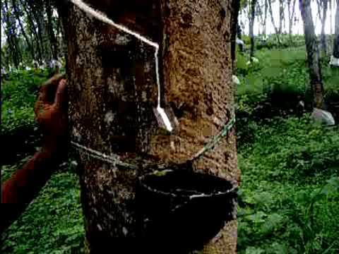 Rubber Tapping Cutting In Bueng Kan Province Thailand