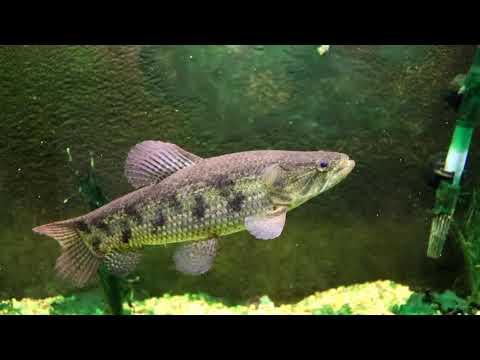 Wolf Fish [KILLING EVERYTHING Feeding Video] Aquarium Fish Tank