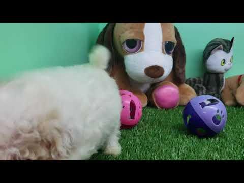 Maltipoo Puppy- Male- Johnny