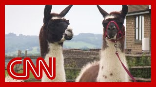 Scientists discover llama antibodies could be key to a coronavirus treatment