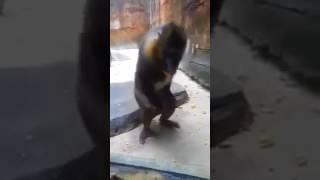 【大爆笑】サルのオナニーが激しすぎるwww