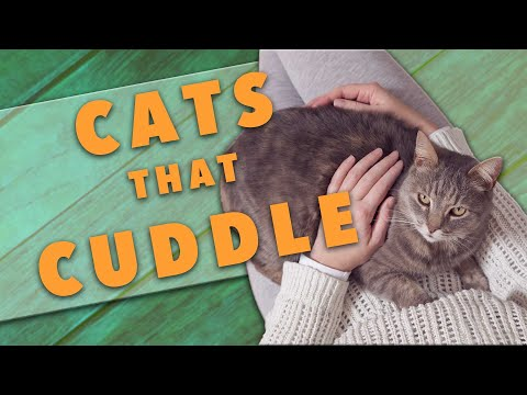 The Best Cat Breeds For Cuddling