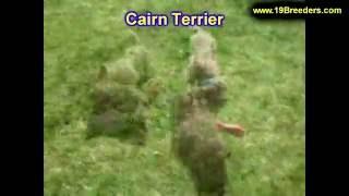 Cairn Terrier, Puppies, For, Sale, In, Anchorage, Alaska,AK, Fairbanks, Juneau, Eagle River