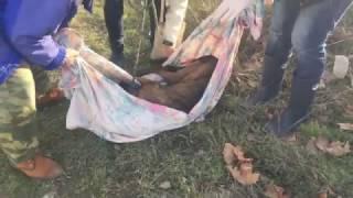 """""""21+""""-Степаняна-тигровая собака,после удара машиной, выпали кишки наружу."""