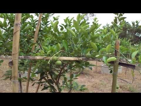 การตัดแต่งกิ่งมะนาว (Pakthongchaigarden.blogspot.com)