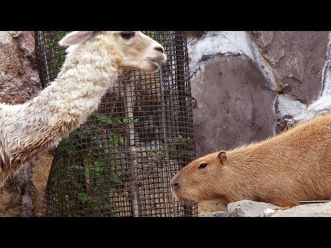 カピバラとアルパカ ごはんを前に独特の緊張感が (Capybara Vs Alpaca Over Food)