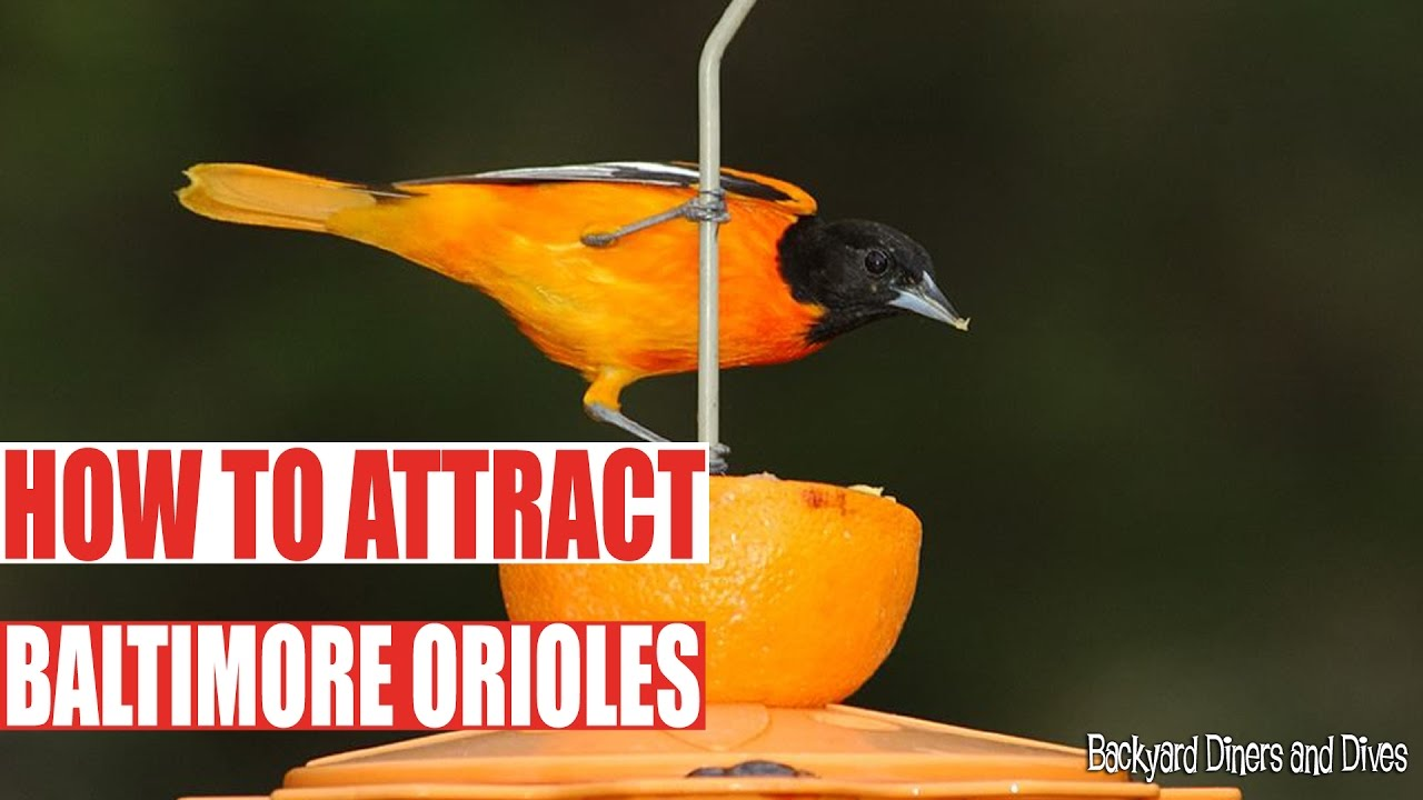 how to attract baltimore orioles to your backyard birding