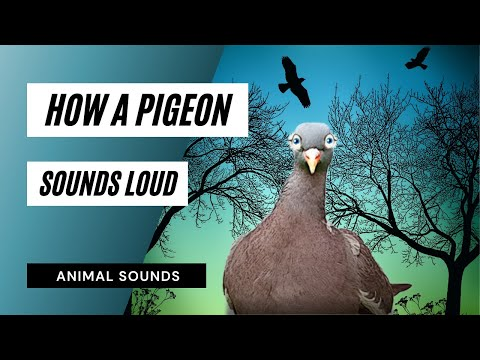 How A Pigeon Clucking - Sound Effect - Animation