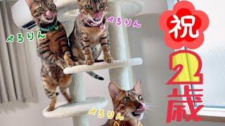 【祝】ベンガル三兄弟2歳の誕生日にNewキャットタワーをプレゼント!