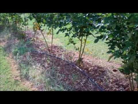 Raising Blackberries For Fun And Profit