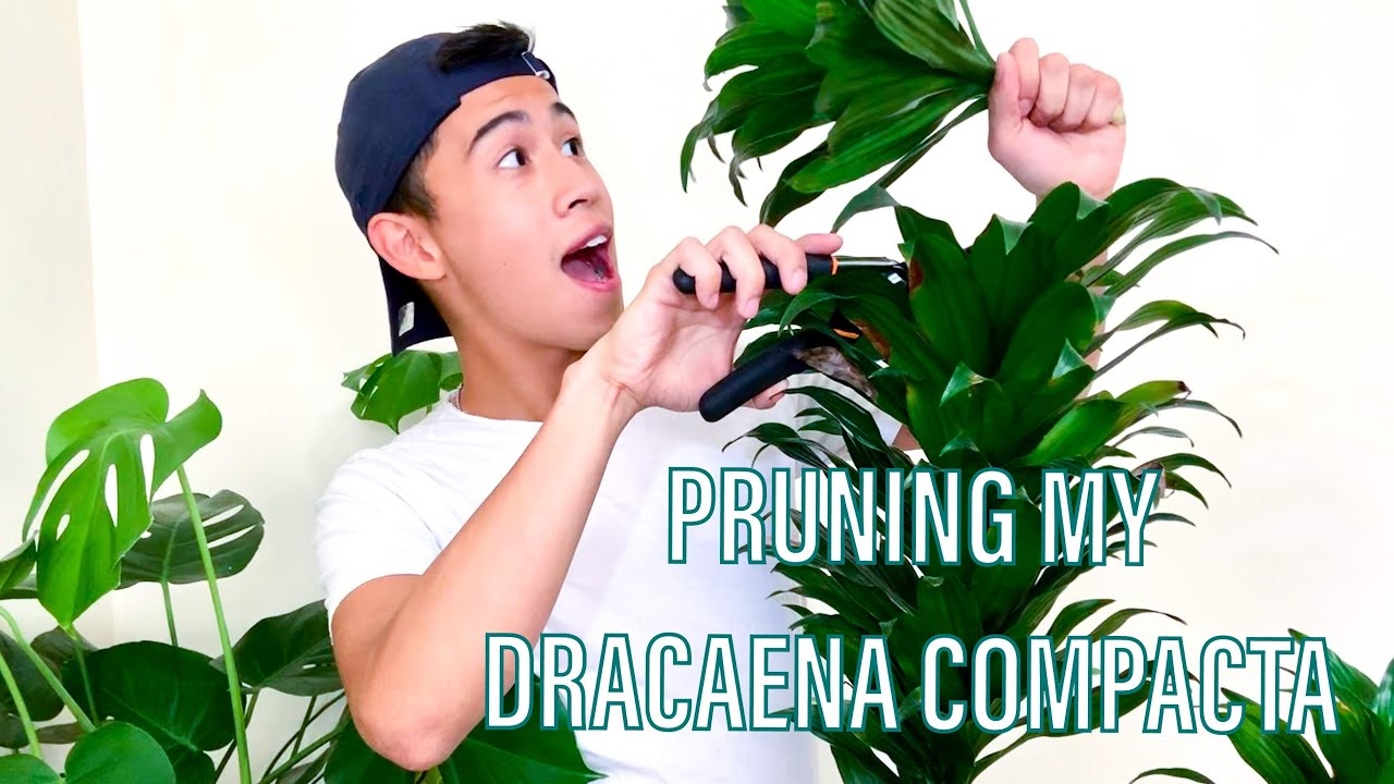 4 Step How To Prune And Propagate A Dracaena Compacta Plant Janet Craig Plant Youtube