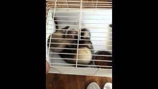 My ferrets playing/fighting