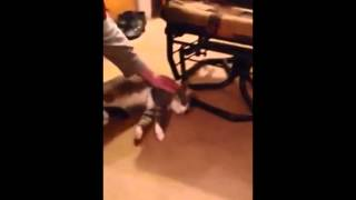 Cat plays dead to avoid going for a walk cut1