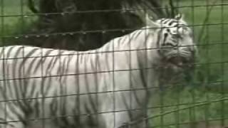 Cameron the Lion and Zabu the White Tiger