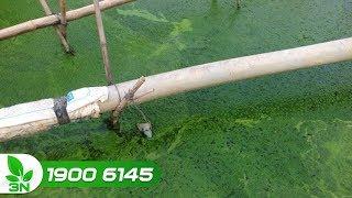Ao nuôi cá có nhiều tảo: Nguyên nhân và cách xử lý