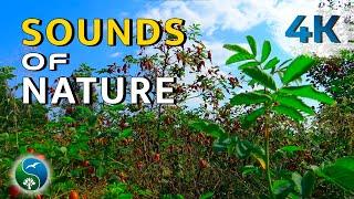Шиповник, летний зной. Природа, ветерок, звуки, пение птиц, цикады, летний день, релакс, медитация